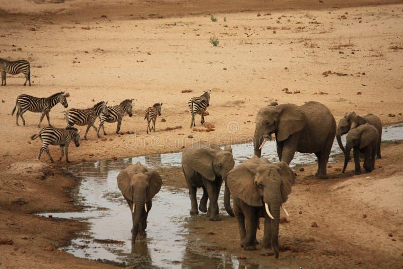 słoni safari Tanzania zebra zdjęcia stock