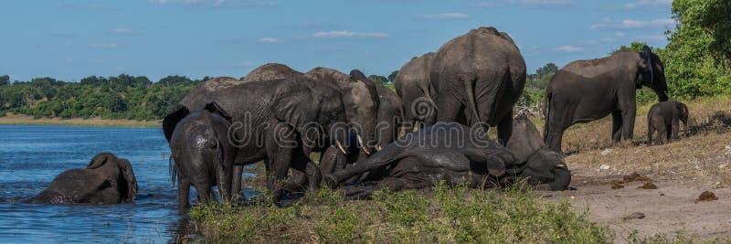 Słonia łgarski puszek na riverbank wśród stada obrazy stock