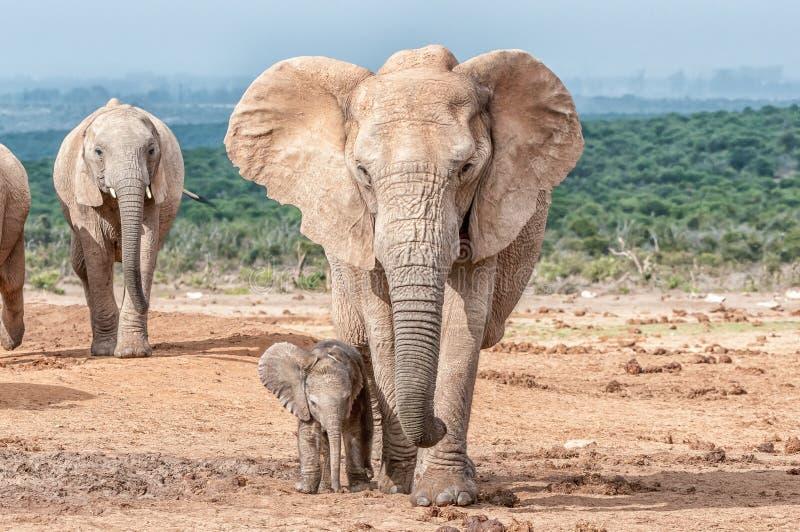 Słonia łydkowy odprowadzenie obok swój matki obraz stock