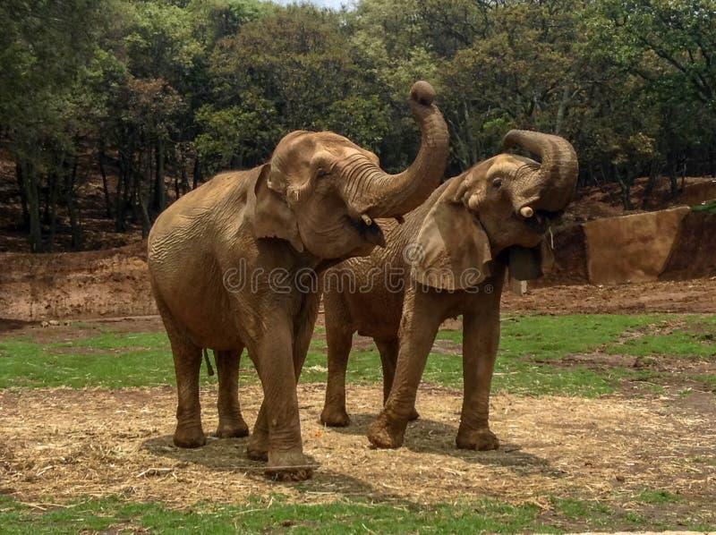 Słonia życie obrazy stock