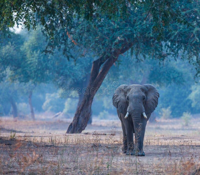 Słonia byka odprowadzenie zdjęcie royalty free