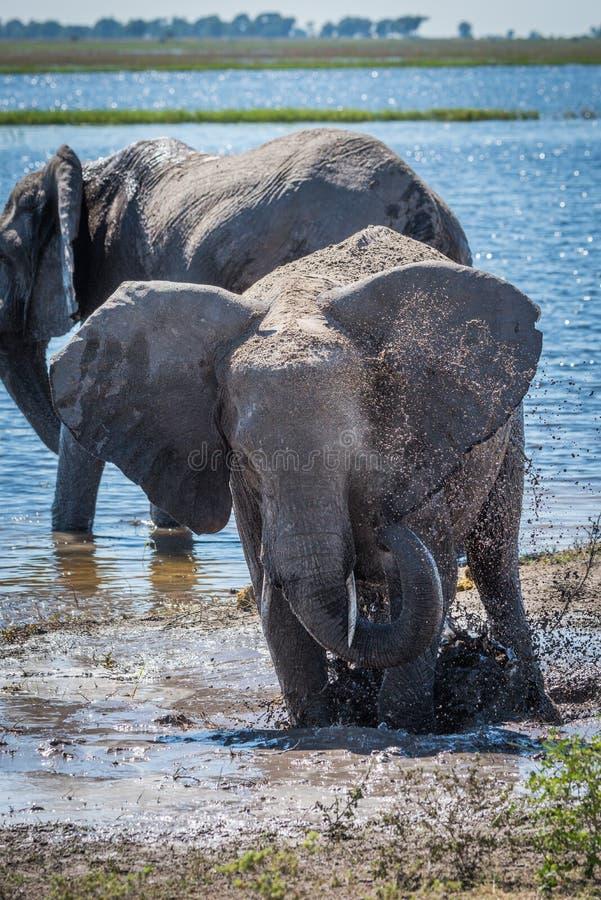 Słonia chełbotanie na błotnistym riverbank obok inny zdjęcia stock
