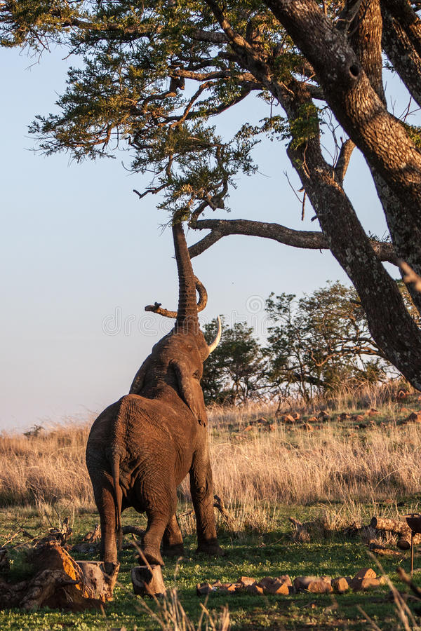 Słonia dojechanie fotografia royalty free