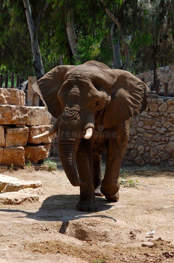 słonia duży zoo zdjęcie royalty free