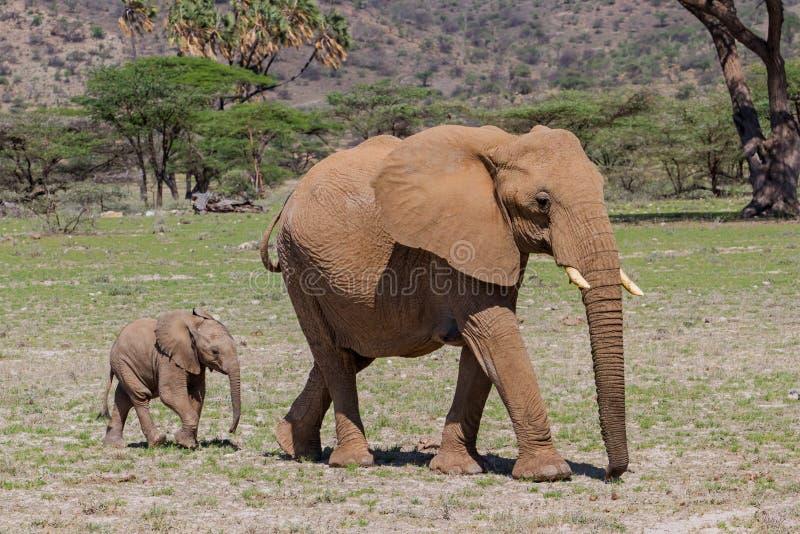 Słonia dziecko z macierzystym odprowadzeniem w Kenja obrazy royalty free