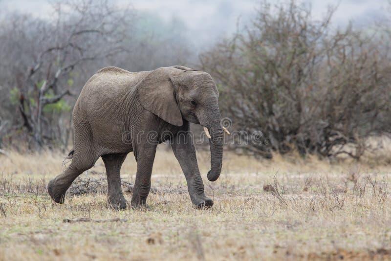 Słonia męski odprowadzenie w Kruger obywatela ParkCheetah samiec w Masai Mara zdjęcia royalty free