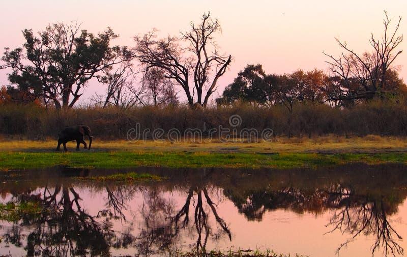 Słonia odprowadzenie na riverbank podczas zmierzchu obraz royalty free