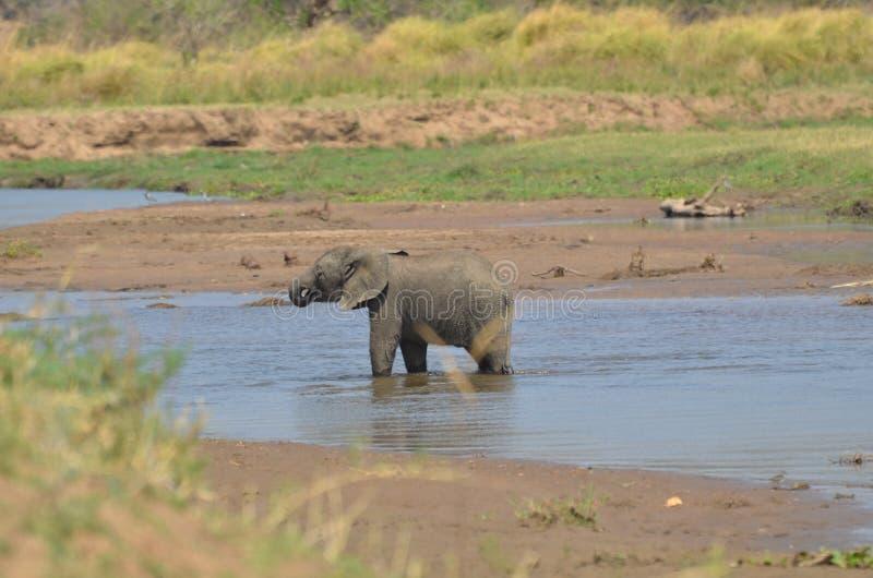 Słonia pić zdjęcie stock
