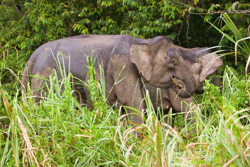 słonia pigmej zdjęcie royalty free