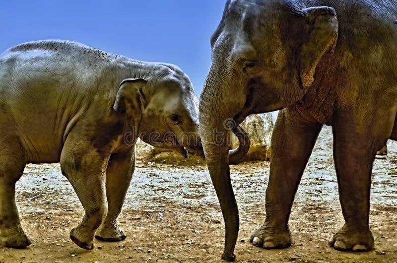 Słonia portret - Karmić słonia dziecka zdjęcie royalty free