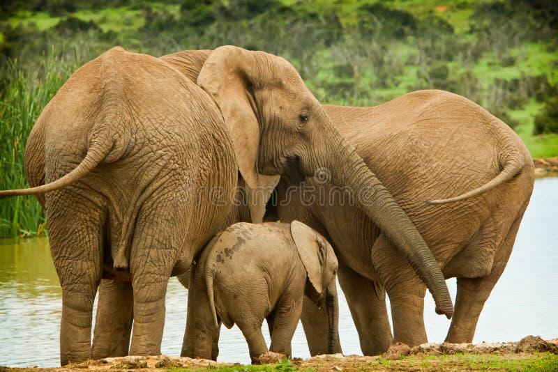 słonia rodzinna dziury woda obrazy stock