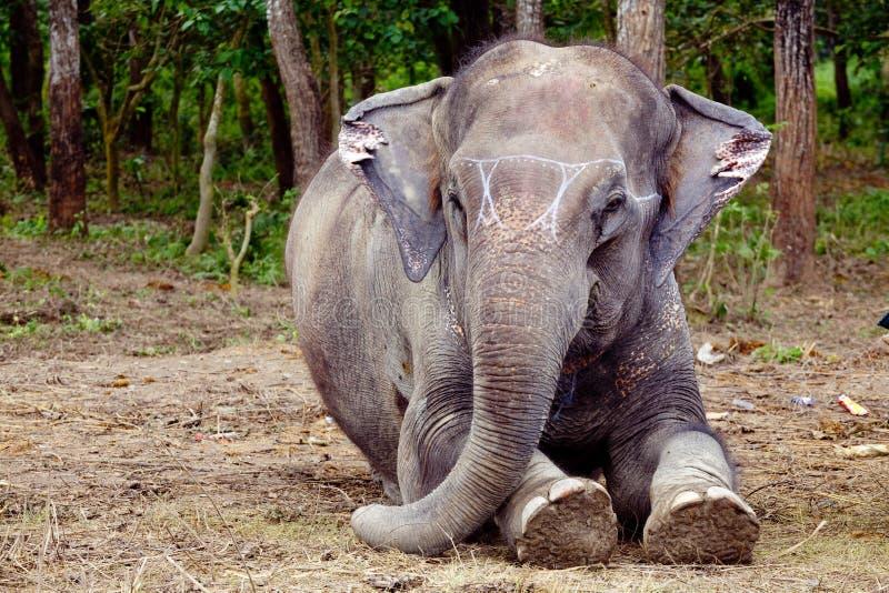 Słonia siedzący portret w Chitwan Nepal zdjęcie stock