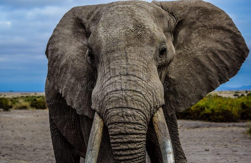 Słonia spojrzenie obraz royalty free