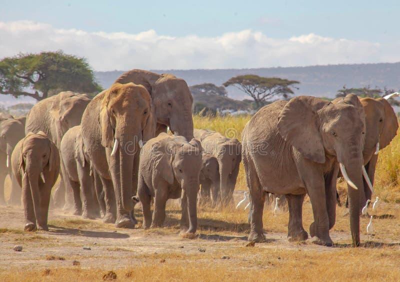Słonia stada odprowadzenie w pustkowiu obrazy stock