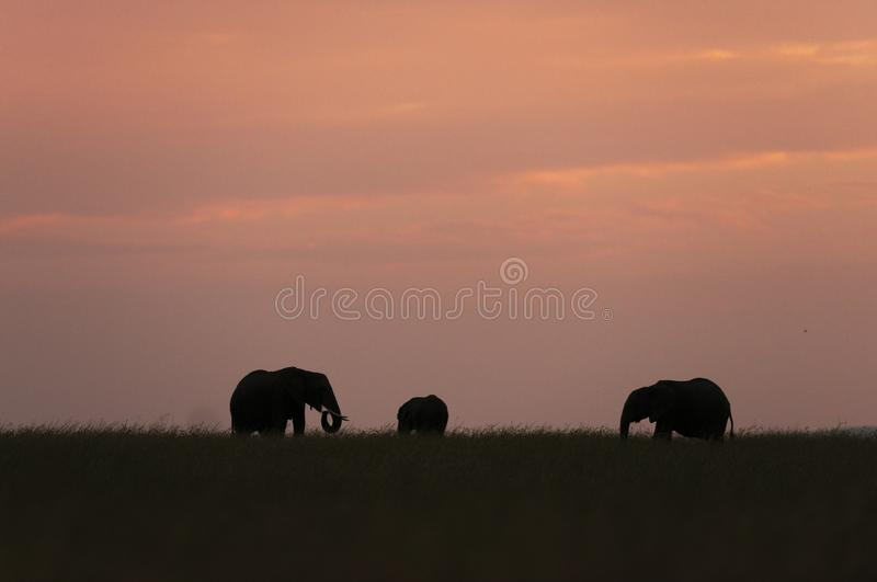 Słonia stado przy zmierzchem przy Masai Mara gry rezerwą, Kenja zdjęcia stock