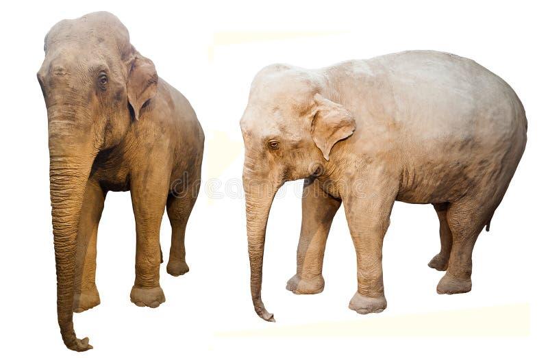 Słonia zwierzę odizolowywający na bielu zdjęcia royalty free