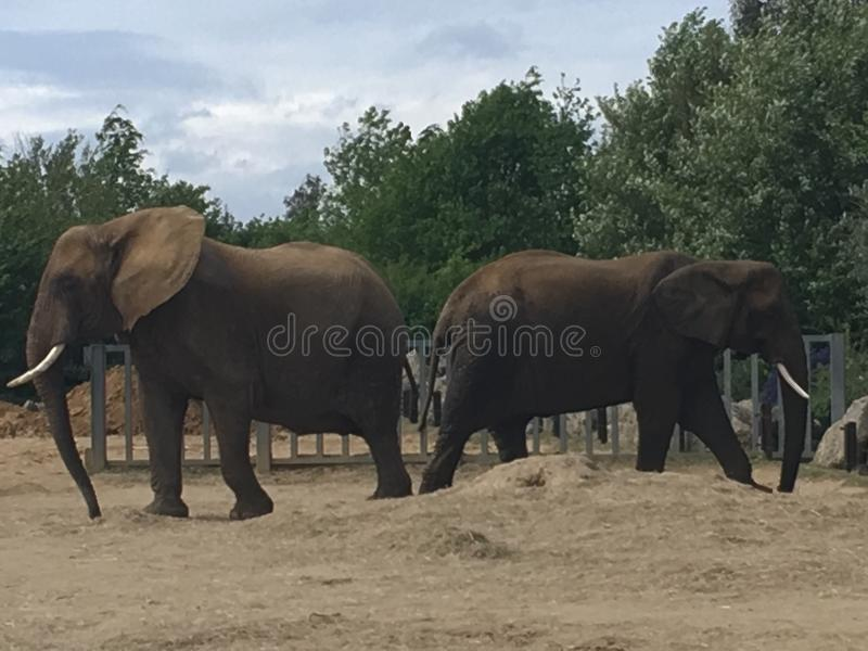 2 słonie obraz royalty free