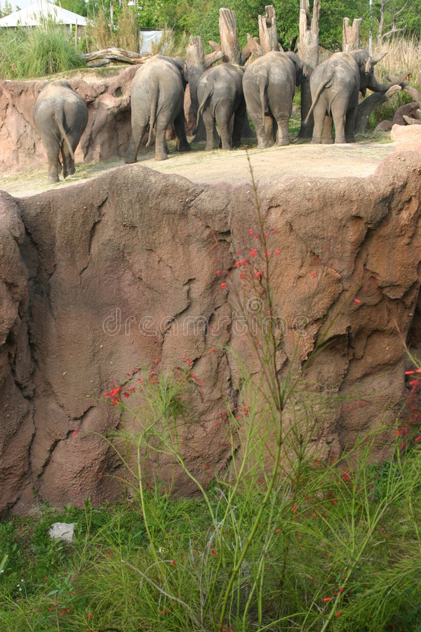 słonie afrykańskie busch fl ogródek uprawiają Tampa obrazy stock