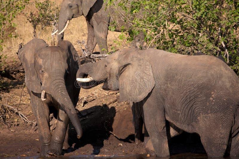 Słonie bawić się fotografia royalty free