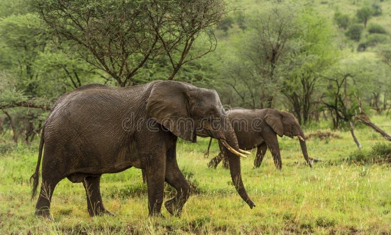 Słonie chodzi, Serengeti, Tanzania zdjęcia stock
