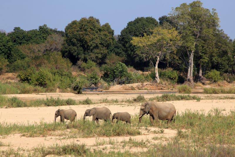 Słonie chodzi w suchym rzecznym łóżku w Kruger parku narodowym, Południowa Afryka obrazy royalty free
