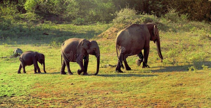 Słonie familly w Sri Lanka zdjęcia royalty free