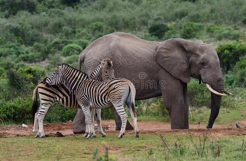 Słonie i zebra zdjęcia royalty free