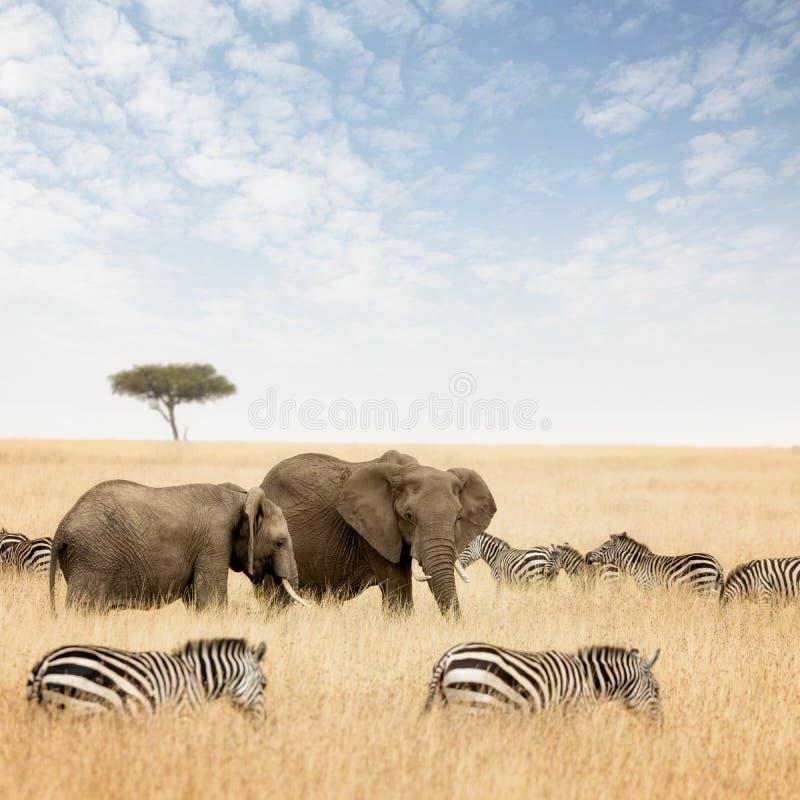 Słonie i zebry w Masai Mara zdjęcia stock