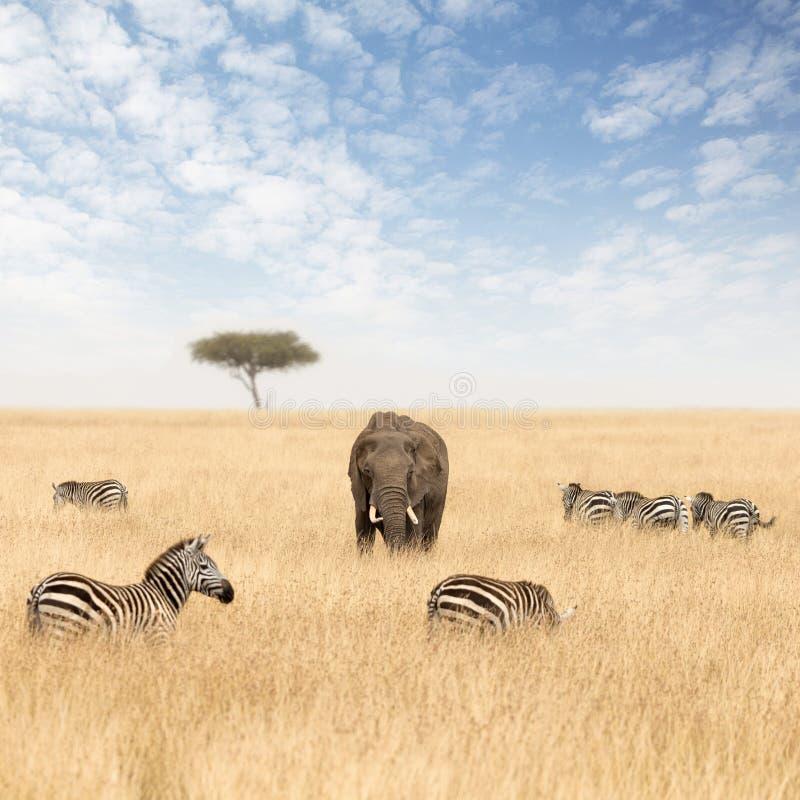 Słonie i zebry w obszarach trawiastych Masai Mara obrazy stock