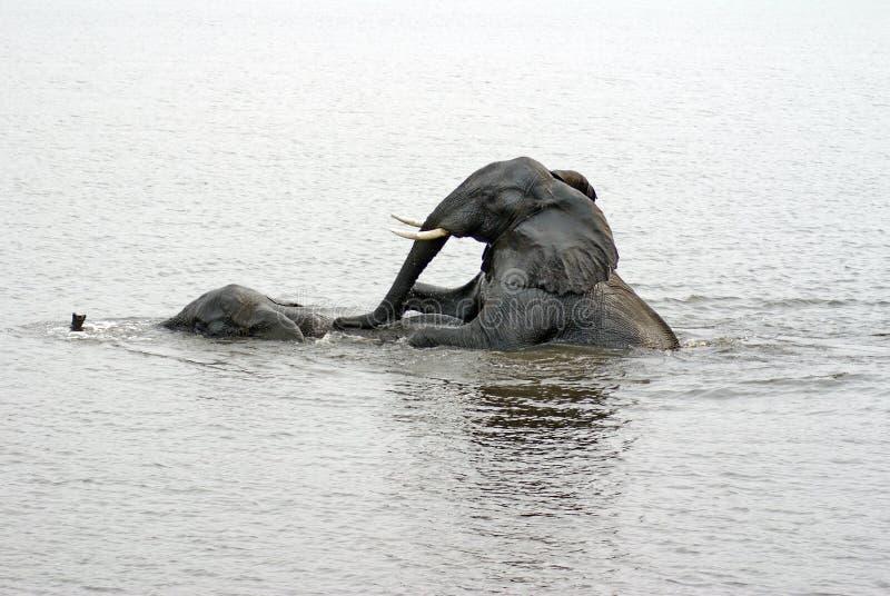 Słonie ma płeć w rzece obraz stock