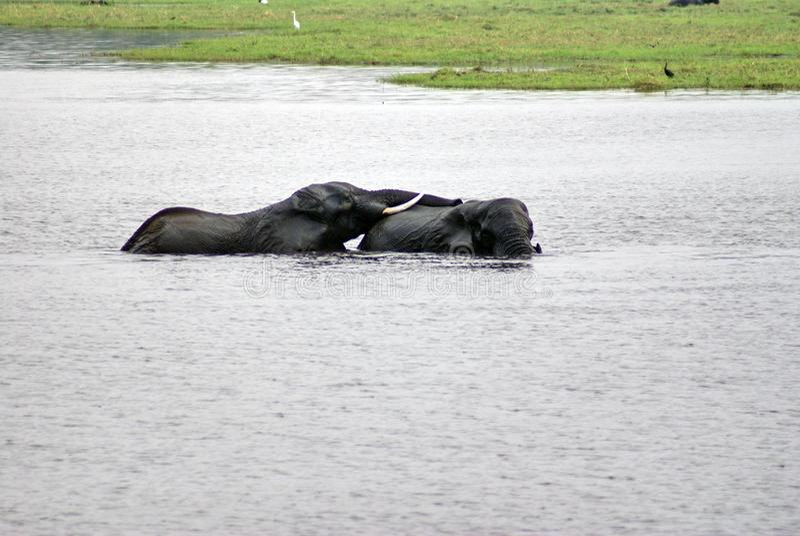 Słonie ma płeć w rzece obrazy stock
