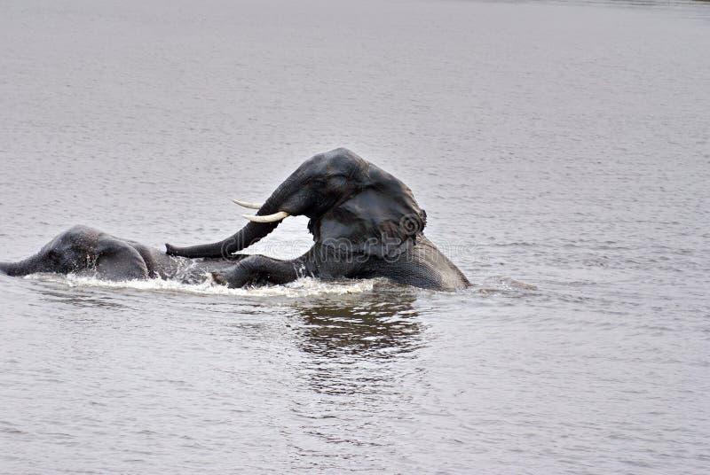 Słonie ma płeć w rzece fotografia stock