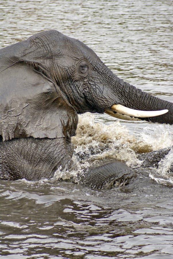 Słonie ma płeć w rzece zdjęcie royalty free