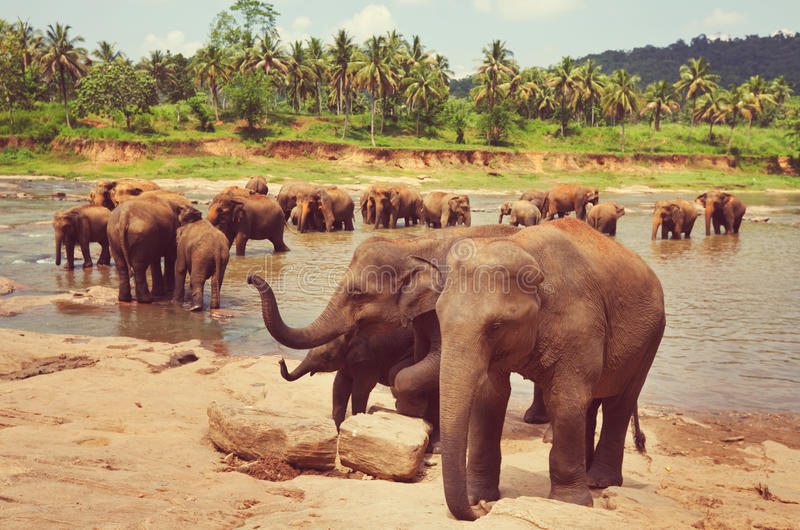 Słonie na Sri Lanka obraz royalty free