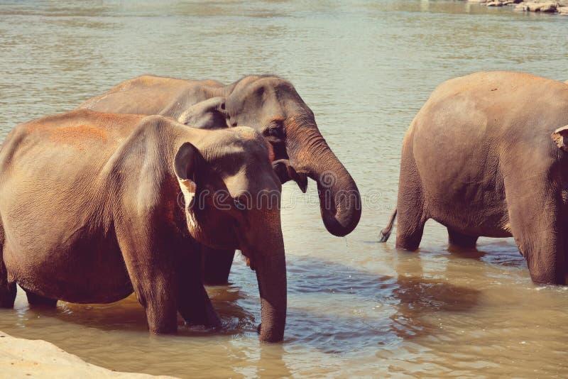 Słonie na Sri Lanka zdjęcie royalty free