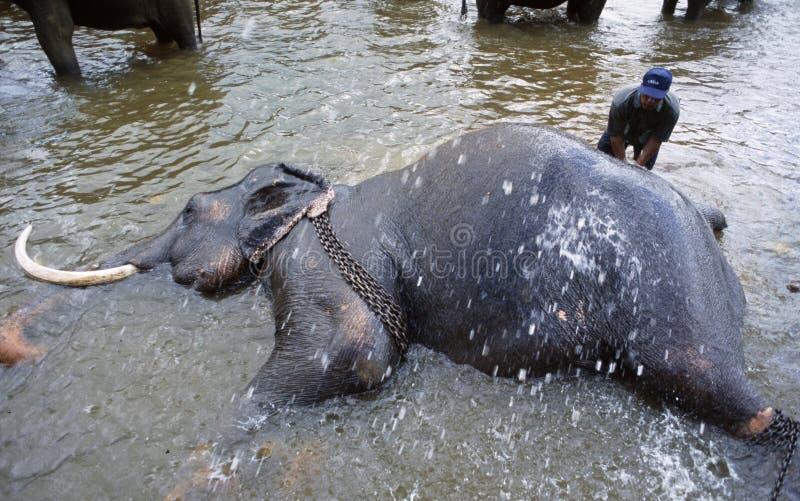 Słonie Phinawela sanktuarium biorą odświeżenia skąpanie w niedalekiej rzece fotografia royalty free