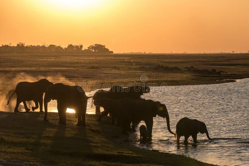 Słonie pije przy chobe rzeką zdjęcie royalty free