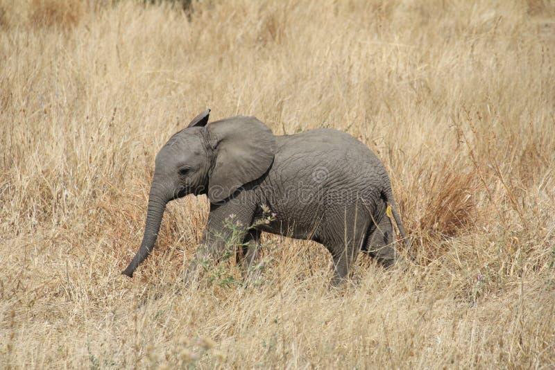 Słonie przy Ruaha parkiem narodowym, Tanzania wschód Afryka zdjęcia stock