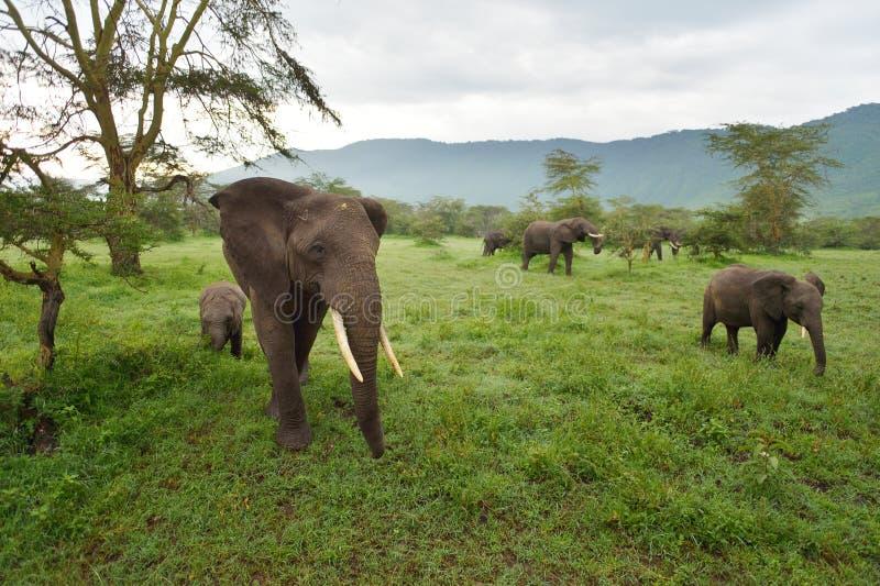 Słonie rodzinni na savana fotografia stock