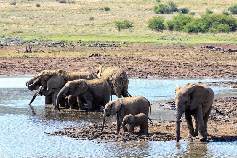 Słonie rodzinni w parku narodowym, Południowa Afryka obraz royalty free