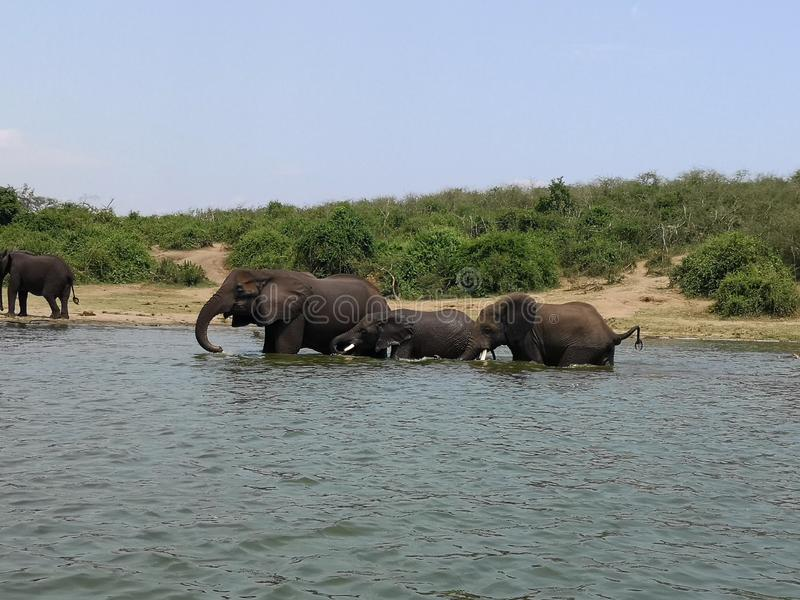 Słonie Rodzinni w ruchu zdjęcia stock
