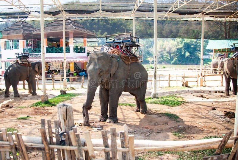 słonie trzyma zmonopolizowanymi w słonia obozu Chiang Mai zdjęcia royalty free