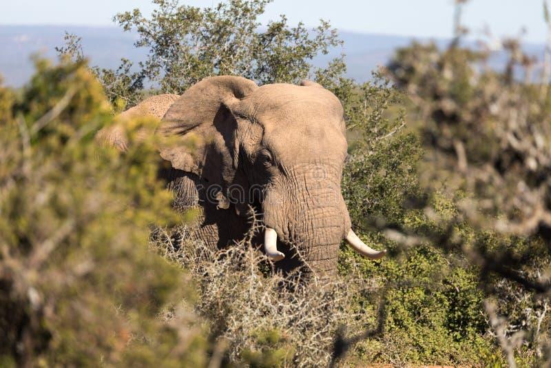 Słonie w Addo słonia parku narodowym w Port Elizabeth, Południowa Afryka - zdjęcie royalty free