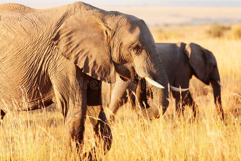 Słonie w Amboseli fotografia stock