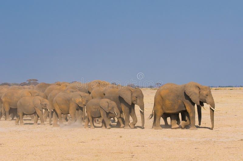 Słonie w amboseli park narodowy, Kenya obrazy royalty free