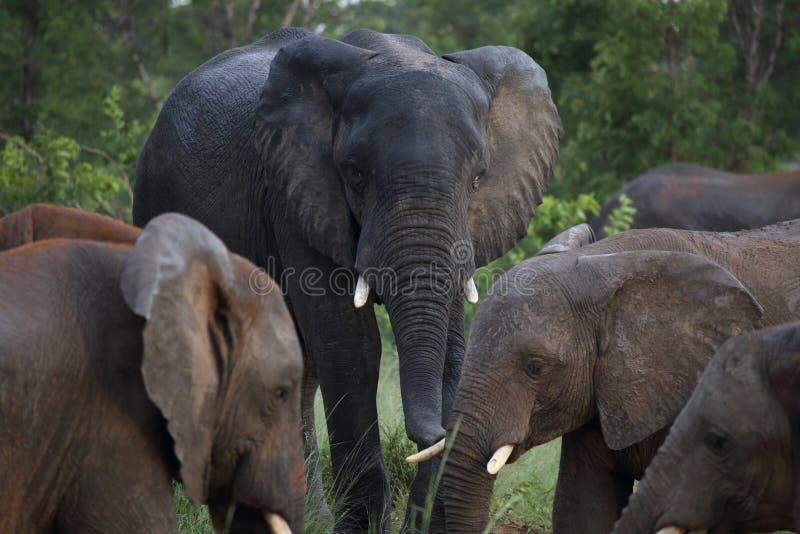 Słonie w Hwage parku narodowym, Zimbabwe, słoń, kły, słonia ` s oka stróżówka zdjęcie stock