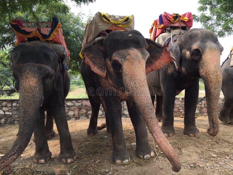 Słonie w Jaipur, ind fotografia stock