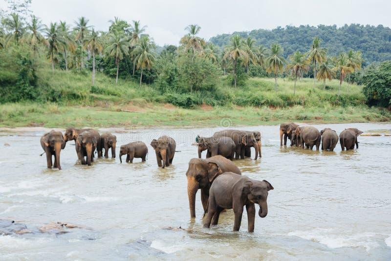 Słonie w rzece Sri Lanka Grupa słonie nawadnia kąpanie w tropikalnym rzecznym Pinnawala zdjęcia stock