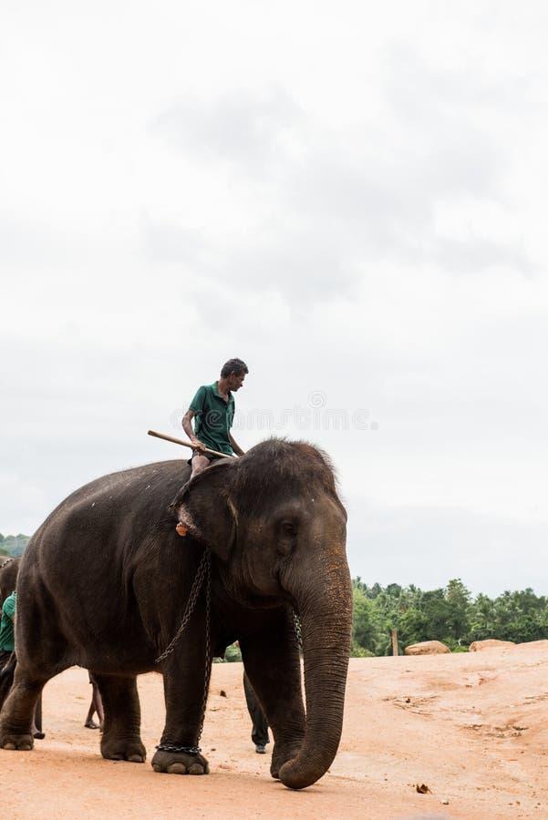 Słonie w Sri Lanka fotografia stock