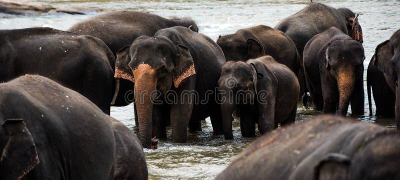 Słonie w Sri Lanka fotografia royalty free